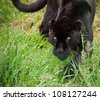Black jaguar Panthera Onca prowling through long grass in captivity - stock photo