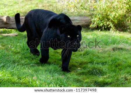 Black Jaguar Stalking through Grass Panthera Onca - stock photo