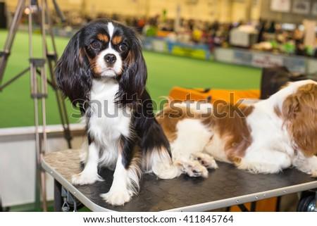 Black King Charles Spaniel dog - at the exhibition - stock photo