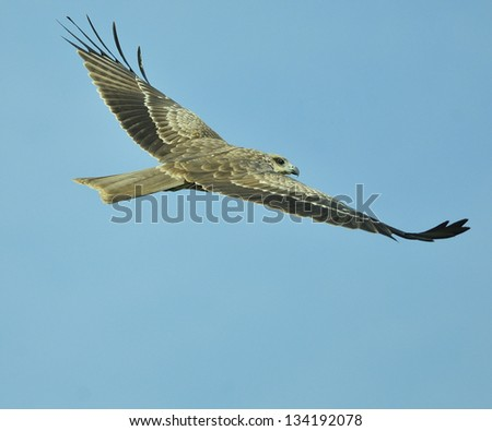 Black Kite Bird with fish in flight
