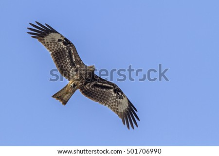 Black kite close up flying in the nature.