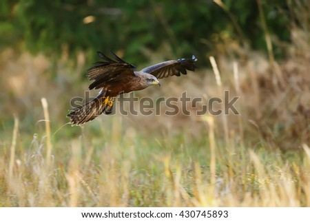 Black Kite hunts from the air, looking for some prey.