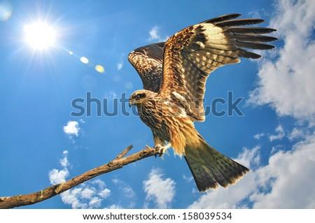 Black kite resting on a branch  - stock photo