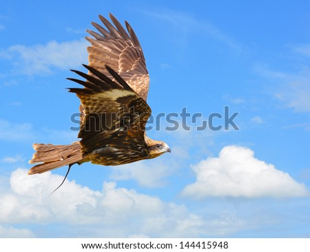 Black Kite - showing wing spread on sky Backdrop