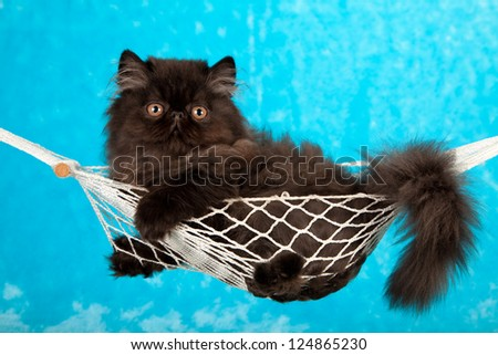 Black kitten in miniature white hammock on blue fake faux fur background - stock photo