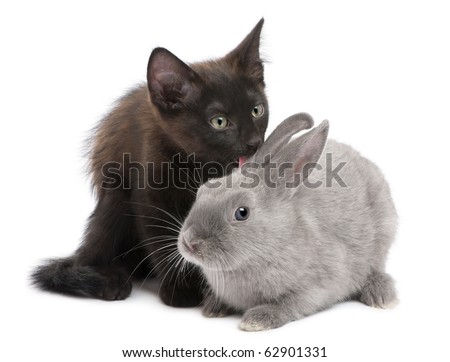 Black kitten playing with rabbit in front of white background - stock photo