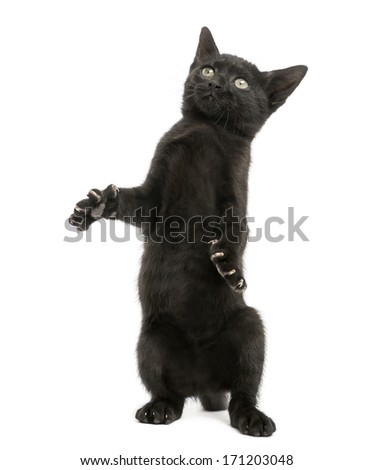 Black kitten standing on hind legs, playing, looking up, 2 months old, isolated on white - stock photo
