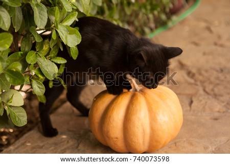 Black Cat Symbol Halloween Orange Pumpkin Stock Photo 494142403