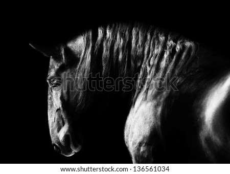 Black kladruby horse portrait on the dark background, black and white photography