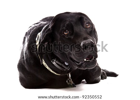 Black Lab laying in front of a white background