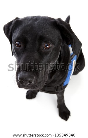 Black lab looking up at the camera.  Isolated on white. - stock photo