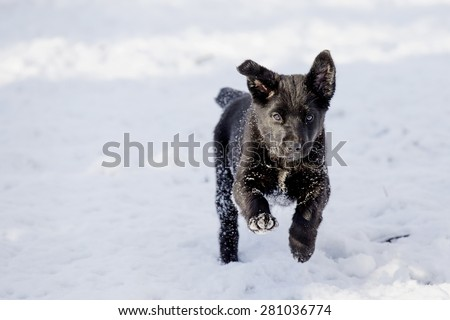 Black lab puppy running and playing in the snow