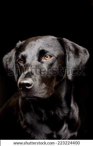 black lab, soft focus, shallow dof - stock photo