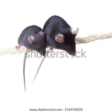 Black laboratory mouse and mousy sitting on a rope. Isolated on white background - stock photo