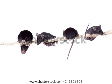 Black laboratory mouse with three pups on the rope. Isolated on white background - stock photo