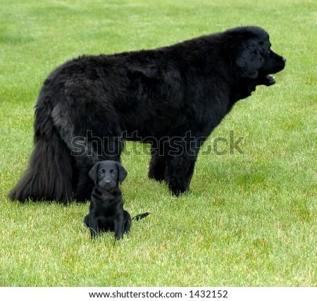 Black Labrador and Newfoundland Juxtaposition - stock photo