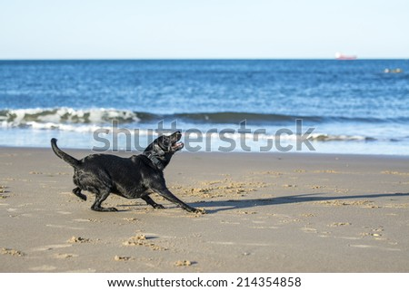 Black Labrador dog getting ready to jump up to catch a ball on the beach - stock photo
