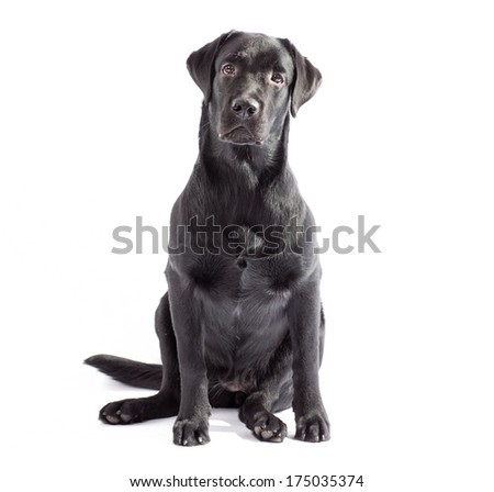 Black labrador dog sitting and watching on you. Isolated on white - stock photo