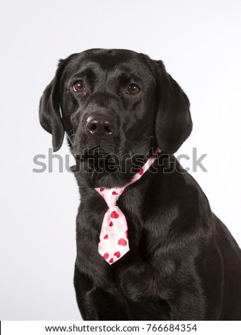 Black labrador dog wearing a pink tie. Business dog. Isolated on white.