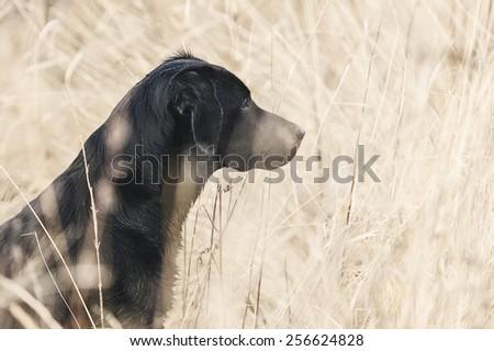 Black Labrador in Field - stock photo