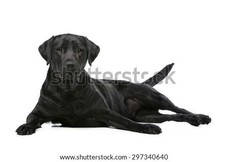 Black Labrador in front of a white background