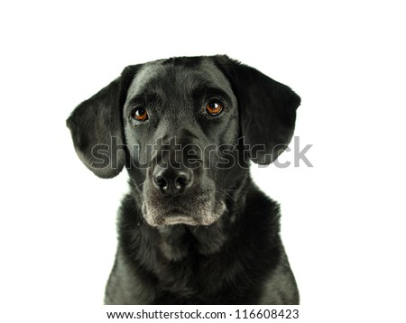 Black Labrador isolated on white looking intently into the lens