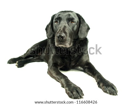 Black Labrador isolated on white relaxing