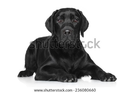 Black Labrador lying on white background - stock photo