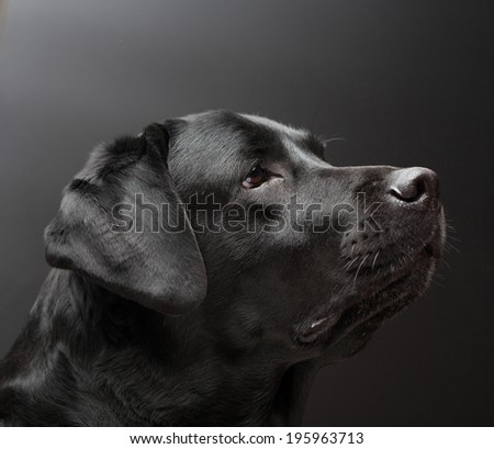 Black labrador on black background
