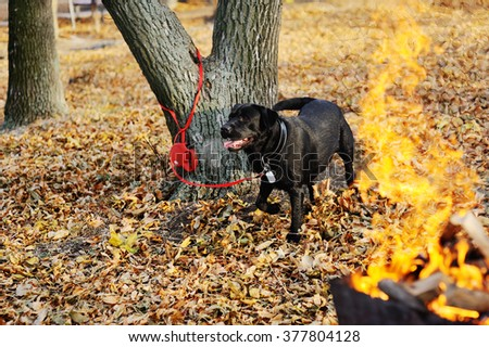 Black Labrador on the background of autumn leaves