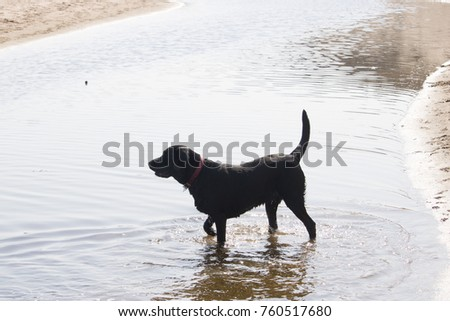 Black Labrador playing in Stream at Beach