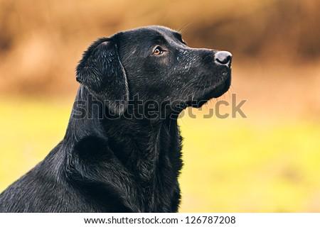 Black Labrador Portrait - stock photo