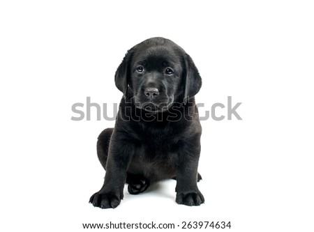 Black Labrador puppies on a white background - stock photo