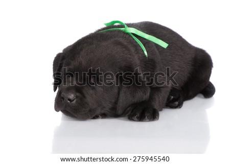 black labrador puppy sleeping on white - stock photo