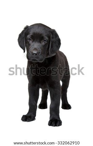 black Labrador puppy standing in front of a white background - stock photo