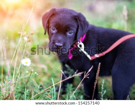 Black labrador puppy standing in the grass, close-up, bokeh - stock photo