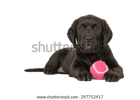 Black labrador puppy with pink ball lying down at a white background