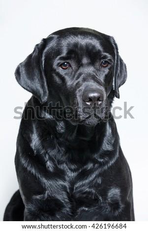 black Labrador Retriever  - stock photo