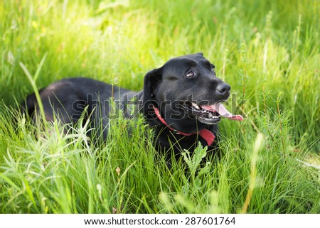 Black Labrador Retriever dog laying on grass. Beautiful big dog portrait outside. - stock photo