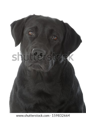 black labrador retriever dog on white background