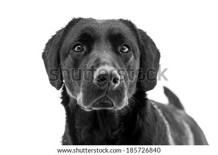 Black Labrador Retriever. Dog portrait on white background. - stock photo