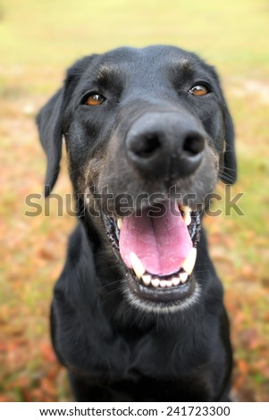 Black labrador retriever greyhound mix dog sitting outside  watching waiting alert looking happy excited while panting smiling and staring at camera - stock photo