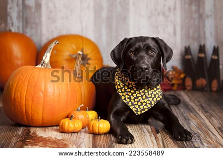 Black Labrador Retriever in a candy corn bandanna sitting next to some large pumpkins and gourds.
