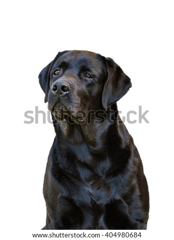 Black labrador retriever in front of a white background.