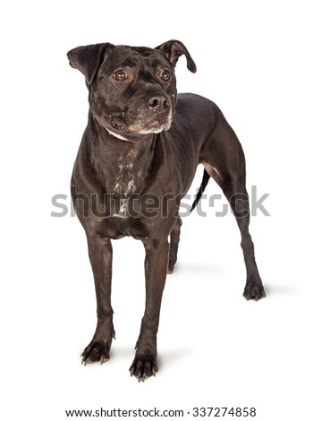 Black Labrador Retriever mixed breed dog standing and looking to the side with a serious expression