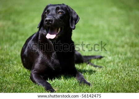 black labrador retriever on grass - stock photo