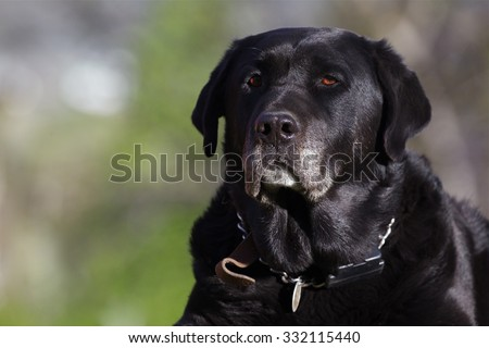 Black Labrador Retriever Portrait of an aging Black Lab duck hunting dog with nice golden catchlight in his eyes, against a natural background - stock photo