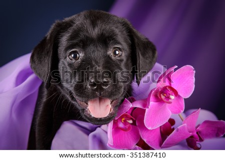 Black Labrador retriever puppy dog smiling on dark blue and purple background with orchid pink flower studio photo - stock photo