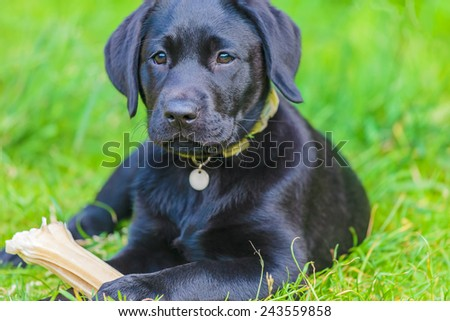Black labrador retriever puppy with bone lying on fresh green grass - stock photo