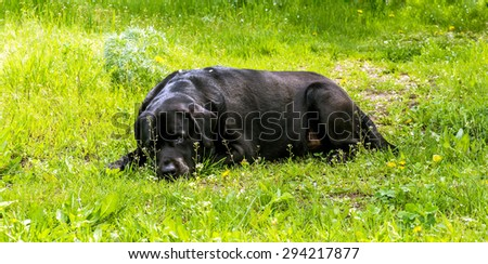 Black labrador-retriever resting on the green lawn in the garden